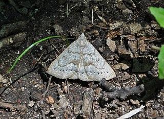 <i>Chytolita</i> genus of insects