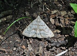 Herminiinae - Image: Cmorbidalis