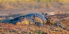 Cocodrilo del Nilo (Crocodylus niloticus), parque nacional de Chobe, Botsuana, 2018-07-28, DD 86.jpg