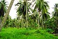 Coconut trees (9).JPG