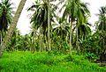 Coconut trees (9).JPG