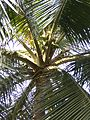 Coconut trees of Bangladesh 06.jpg