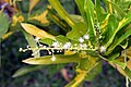 Codiaeum variegatum 30zz.jpg