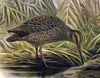 Hakawai - Coenocorypha aucklandica, illustration from Buller's 1888 Birds of New Zealand
