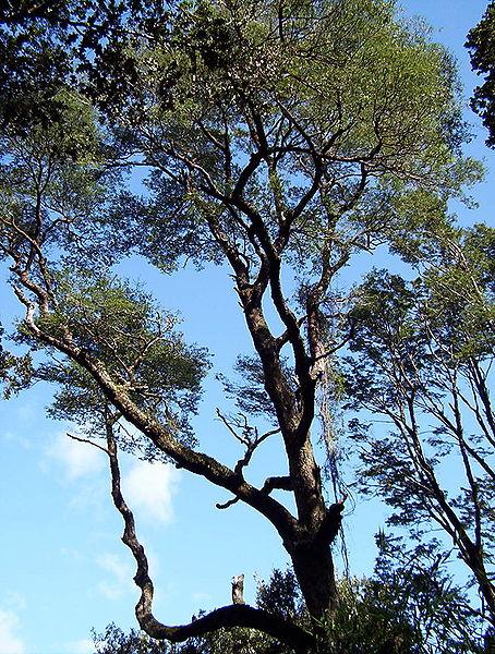 http://upload.wikimedia.org/wikipedia/commons/thumb/4/4b/Coihue_adulto.jpg/454px-Coihue_adulto.jpg