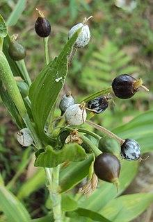 <i>Coix</i> genus of plants