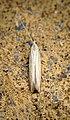 Coleophora sp (28362324676).jpg