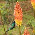 Colibri thalassinus-IMG 9034.JPG