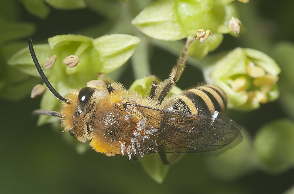 Colletes hederae parasitized-pjt