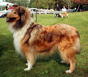 Conformation (dog) - A Dachshund (top) and Rough Collie (bottom) at dog shows. Both fit their breed's conformation standard, but exhibit vast differences from each other.
