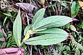 Columnea picta (Gesneriaceae) (29147320613).jpg