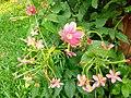 Combretum Indicaum Flowers.jpg