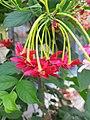 Combretum indicum flower in Punjab.jpg