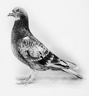 Commando (pigeon)