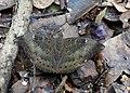 Common Baron Euthalia aconthea male by Dr. Raju Kasambe DSCN8326 (8).jpg