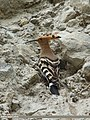 Common Hoopoe (Upupa epops) (15708492528).jpg