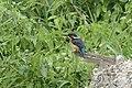 Common Kingfisher (32135242218).jpg