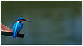 Common Kingfisher (Alcedo atthis taprobana) by Dharani Prakash.jpg