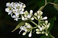 Common Privet (Ligustrum vulgare) - Kitchener, Ontario.jpg