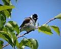 Common Reed Bunting. Emberiza schoeniclus (30240769638).jpg