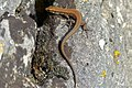 Common Wall Lizard (Podarcis muralis) (10251566666).jpg