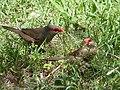 Common Waxbills. Estrilda astrild - Flickr - gailhampshire (1).jpg