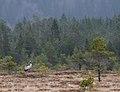 Common crane (Grus grus).jpg