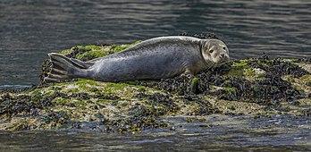Jeune veau marin sur la côte sud de Skomer (pays de Galles). (définition réelle 4611×2251)