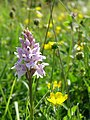 Common spotted orchid, Old Winchester Hill National Nature Reserve - geograph.org.uk - 188153.jpg