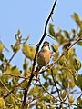 Common whitethroat, Sylvia communis at Zaagkuildrift Road near Kgomo Kgomo, Limpopo, South Africa (33526107596).jpg