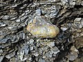 Concretion in gray shale (Fort Payne Formation, Lower Mississippian; Burkesville West Rt. 90 roadcut, Kentucky, USA) 6.jpg