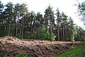 Conifers, St Leonards Forest - geograph.org.uk - 1288412.jpg