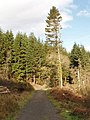 Conifers by Penhallam - geograph.org.uk - 714534.jpg