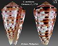 Conus aurisiacus 3.jpg
