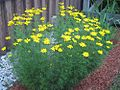 Coreopsis-golden showers-bloom.jpg