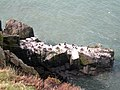 Cormorant Colony - geograph.org.uk - 421572.jpg