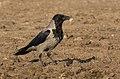 Corneille mantelée - Hooded crow - Gri leş kargası 02.jpg
