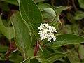 Cornus sericea (5257604155).jpg