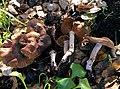 Cortinarius ohlone Bojantchev 843544.jpg