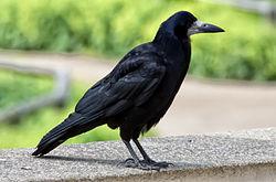 Corvus frugilegus -Cookridge, Leeds, England-8 (3).jpg
