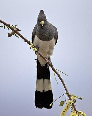 White-bellied go-away-bird - In Tanzania