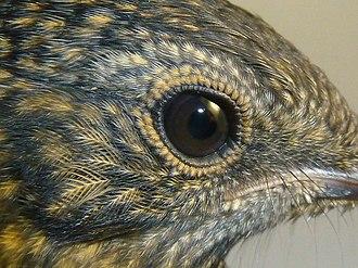 Eye-ring - Image: Cossypha caffra, juveniel, Pretoria, h