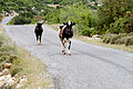 Cow and heifer.jpg