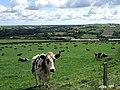Cows at Pencwarre - geograph.org.uk - 523958.jpg
