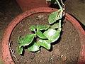 Crassula cordia-plant-yercaud-salem-India.JPG