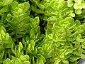 Crassula pellucida or Crassula decumbens var. decumbens (syn C. repandens) 3264px.jpg