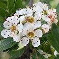 Crataegus azarolus-Épine d'Espagne-Fleurs-20160420.jpg
