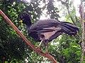 Crax fasciolata -Parque das Aves, Brazil-8a.jpg