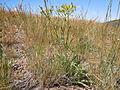 Crepis acuminata (5459330947).jpg