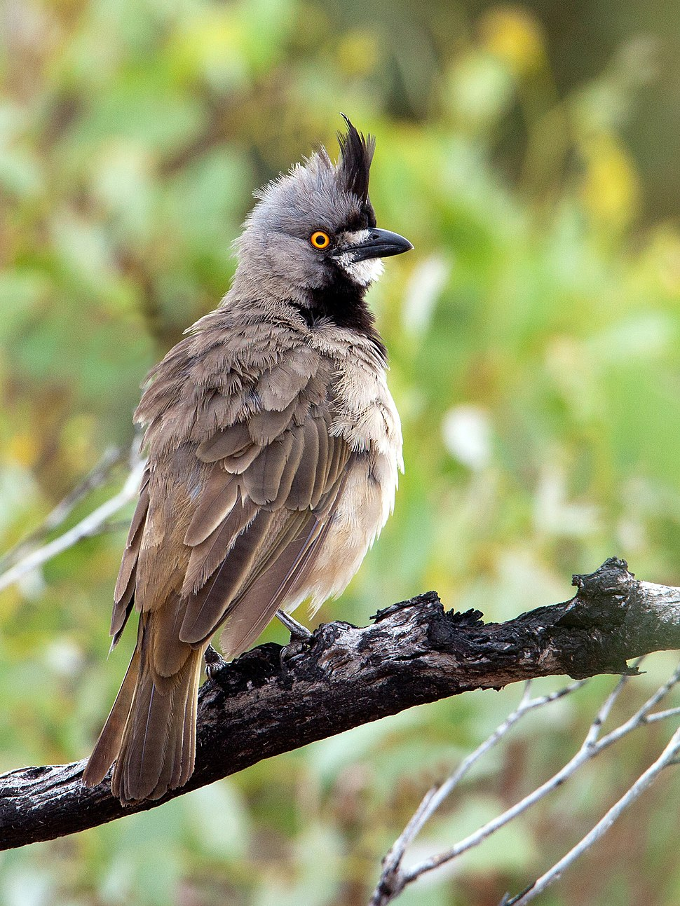 Crested Bellbird (5496774920)